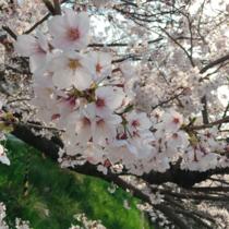 まもなく京都の桜が開花します