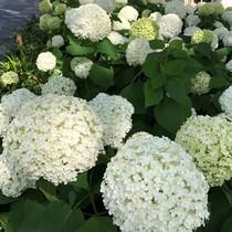御池通りで花鑑賞