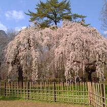 京都・桜の名所